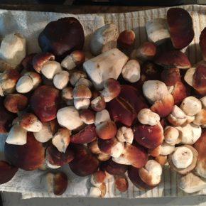 Freshly picked Porcini Mushrooms