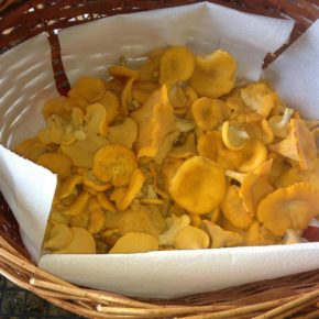 Fresh Picked Chanterelle Mushrooms From Honduras